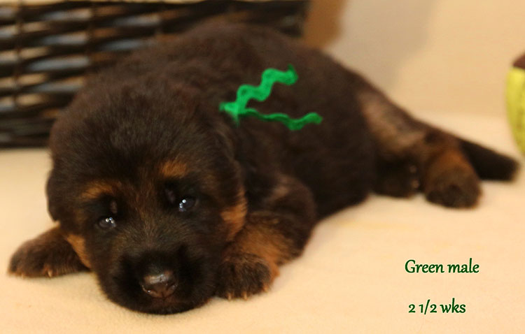 Solo x Myla - 2 and Half Week Green Collar Male