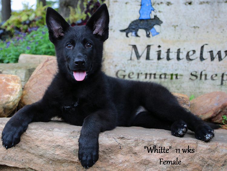 Jack x Xani - 11 Weeks Female Whitte