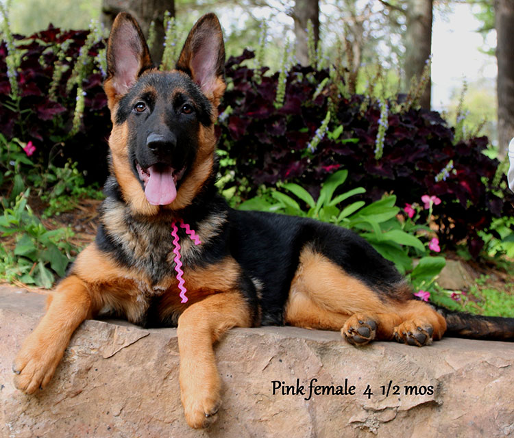 Solo x Flickr - 4 & 1/2 Month Pink Collar Female