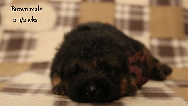Solo x Xarla - 2 & 1/2 Weeks Brown Collar Male