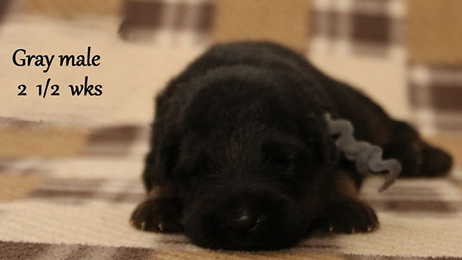 Solo x Xarla - 2 & 1/2 Weeks Gray Collar Male
