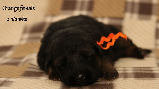 Solo x Xarla - 2 & 1/2 Weeks Orange Collar Female