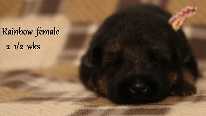 Solo x Xarla - 2 & 1/2 Weeks Rainbow Collar Female