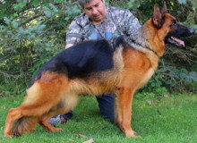 Mittelwest Adult Female German Shepherd For Sale - Apple vom Mittelwest