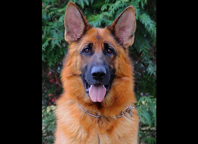 Mittelwest Adult Female German Shepherd For Sale - Apple vom Mittelwest