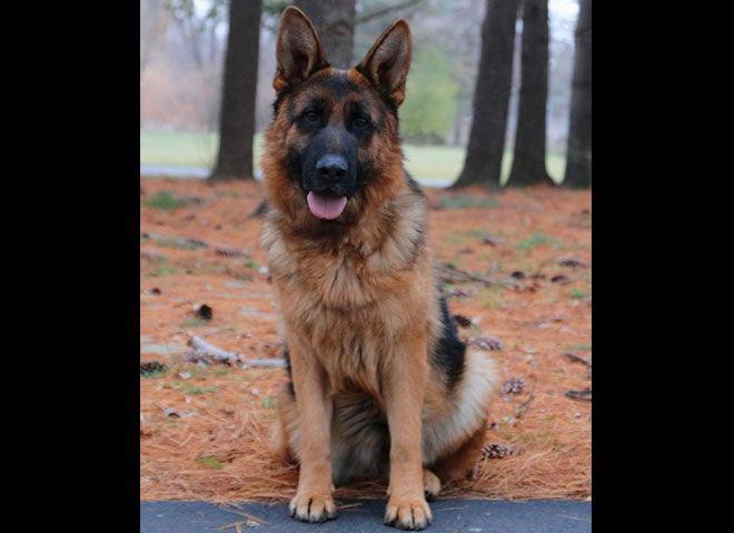Mittelwest Adult Female German Shepherd For Sale - Wixie vom Mittelwest