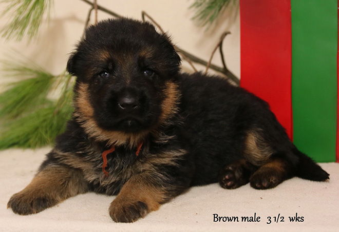 Solo x Xarla - 3 & 1/2 Weeks Brown Collar Male