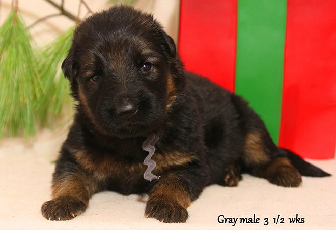 Solo x Xarla - 3 & 1/2 Weeks Gray Collar Male