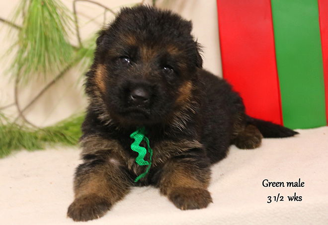 Solo x Xarla - 3 & 1/2 Weeks Green Collar Male