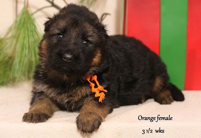 Solo x Xarla - 3 & 1/2 Weeks Orange Collar Female