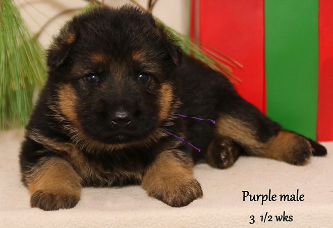 Solo x Xarla - 3 & 1/2 Weeks Purple Collar Male