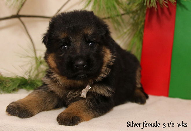 Solo x Xarla - 3 & 1/2 Weeks Silver Collar Female