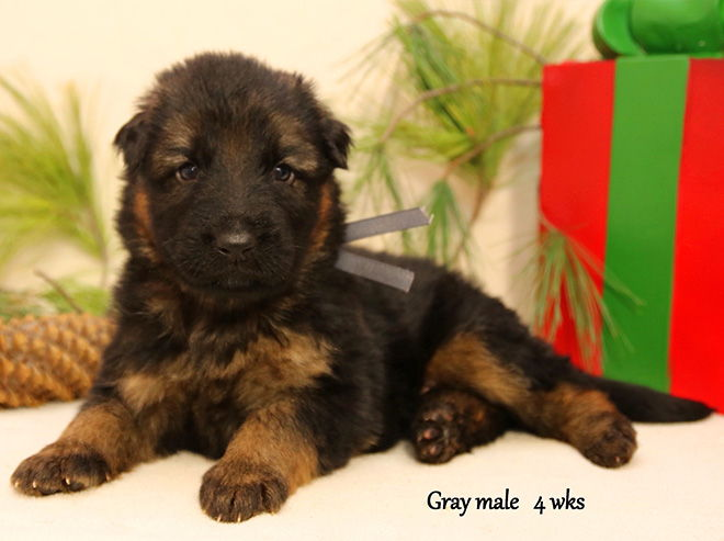 Solo x Xarla - 4 Weeks Gray Collar Female