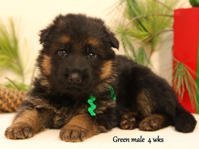 Solo x Xarla - 4 Weeks Green Collar Male
