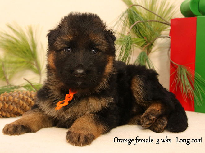 Solo x Xarla - 4 Weeks Orange Collar Female