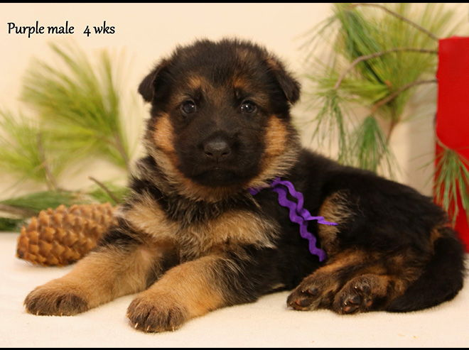 Solo x Xarla - 4 Weeks Purple Collar Male