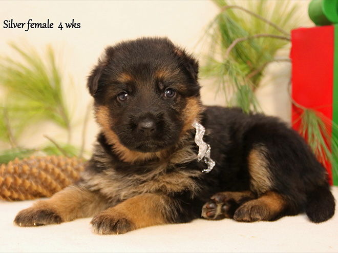 Solo x Xarla - 4 Weeks Silver Collar Female