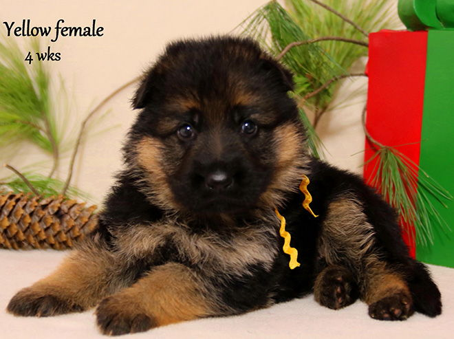 Solo x Xarla - 4 Weeks Yellow Collar Female