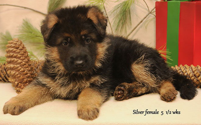 Solo x Xarla - 5 & 1/2 Weeks Silver Collar Female