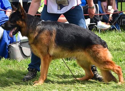 Mittelwest German Shepherd Champion Stud - V Gabe vom Mittelwest Sch3 KKL