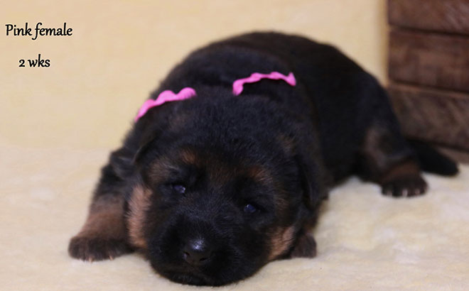 Solo x Twitter - 2 Weeks Pink Collar Female
