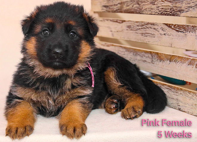 Solo x Twitter - 5 Weeks Pink Collar Female