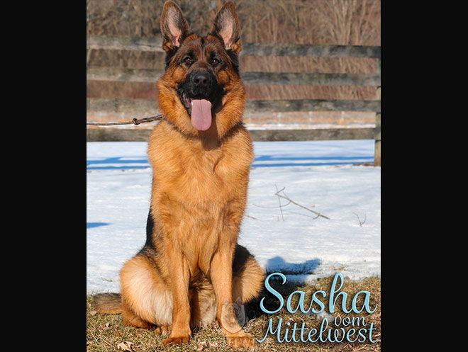 Mittelwest Adult Female German Shepherd For Sale - Sasha vom Mittelwest