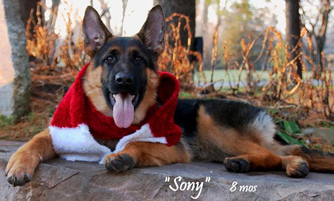 Mittelwest Adult Female German Shepherd For Sale - Sony vom Mittelwest