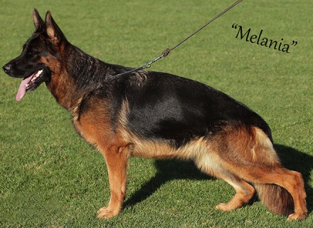 Mittelwest Breeding Female - Melania vom Mittelwest