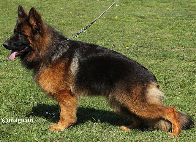 Mittelwest Adult Female German Shepherd For Sale - Laila