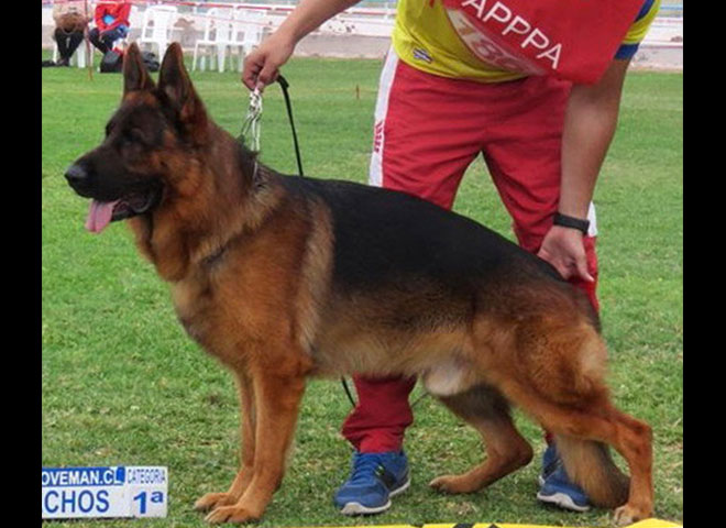 Mittelwest Champion Stud - VA Figo di Casa Caputi