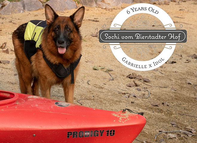 Mittelwest Adult Female German Shepherd For Sale - Sochi vom Mittelwest