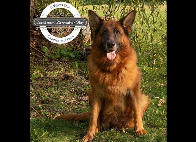 Mittelwest Adult Female German Shepherd For Sale - Sochi vom Mittelwest