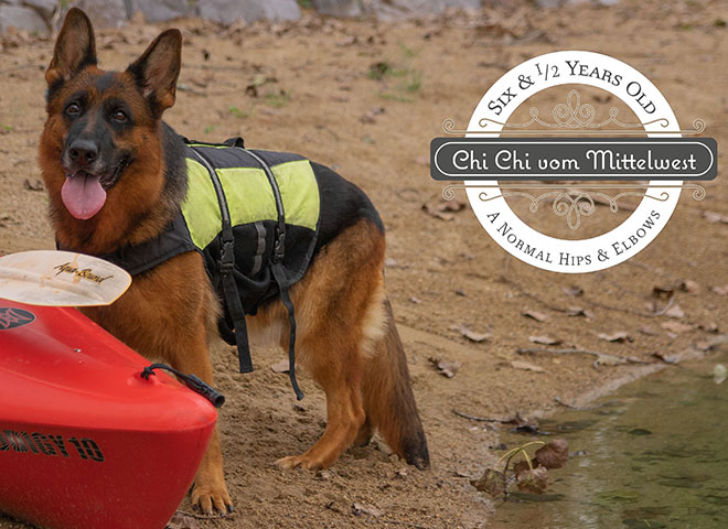 Mittelwest Adult Female For Sale - Chi Chi vom Mittelwest