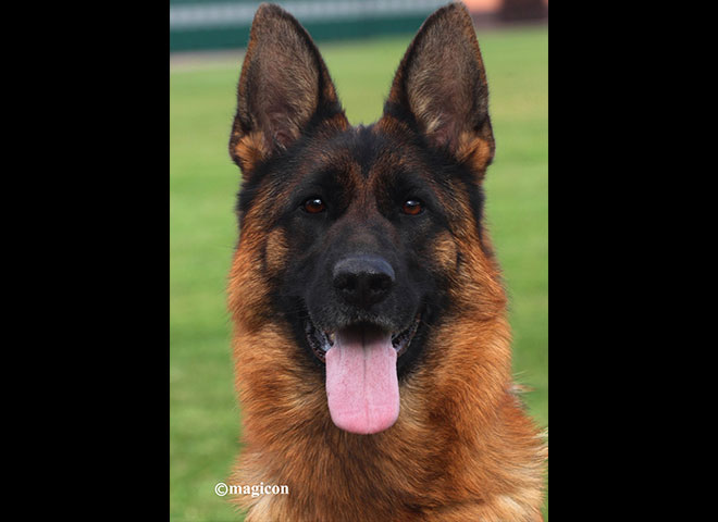 Mittelwest Adult Female For Sale - Halle