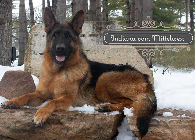 mittelwest-adult-female-for-sale-indiana-vom-mittelwest-1