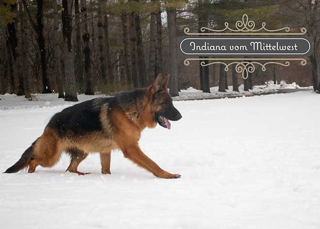 mittelwest-adult-female-for-sale-indiana-vom-mittelwest-10