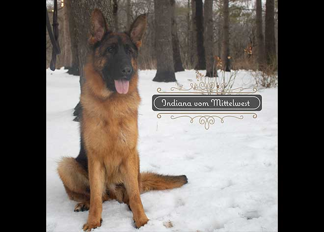 mittelwest-adult-female-for-sale-indiana-vom-mittelwest-2