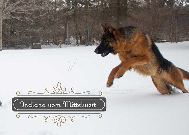 mittelwest-adult-female-for-sale-indiana-vom-mittelwest-3