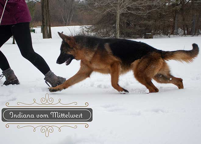 mittelwest-adult-female-for-sale-indiana-vom-mittelwest-6