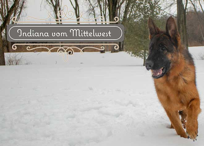mittelwest-adult-female-for-sale-indiana-vom-mittelwest-7