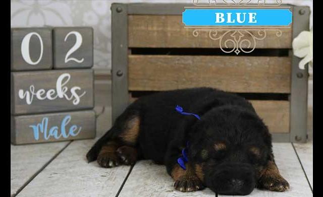 Falko x Hershey - 2 Weeks Blue Collar Male