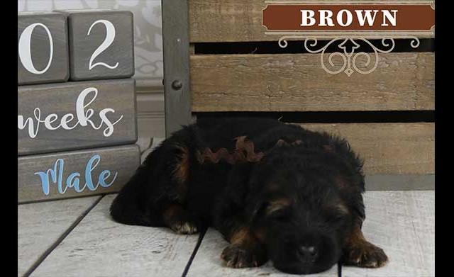 Falko x Hershey - 2 Weeks Brown Collar Male