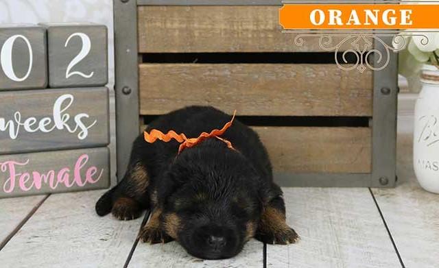 Falko x Hershey - 2 Weeks Orange Collar Female