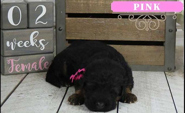 Falko x Hershey - 2 Weeks Pink Collar Female