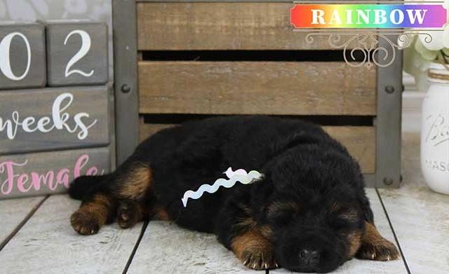 Falko x Hershey - 2 Weeks Rainbow Collar Female
