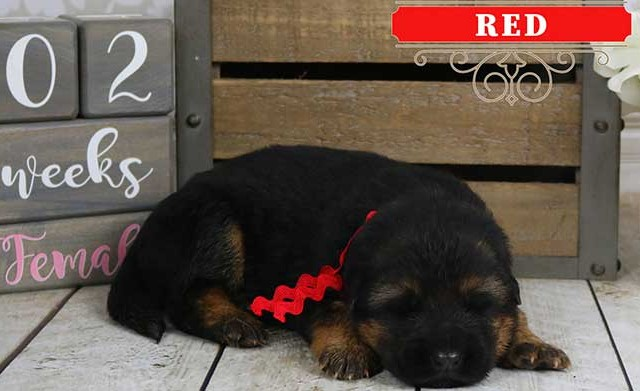 Falko x Hershey - 2 Weeks Red Collar Female