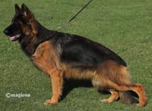 Mittelwest Breeding Female - Adrianna vom Team Armada Sch2 KKL