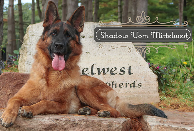 "Mittelwest Adult Female For Sale - Eva ""Shadow"" vom Mittelwest"