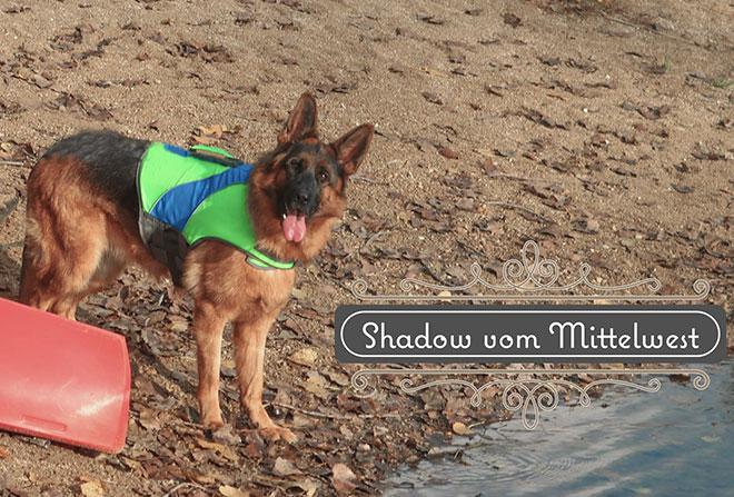 mittelwest-adult-female-for-sale-eva-shadow-vom-mittelwest-660x480-2